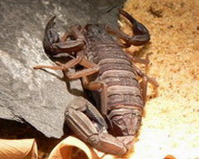 Tödliche Skorpione